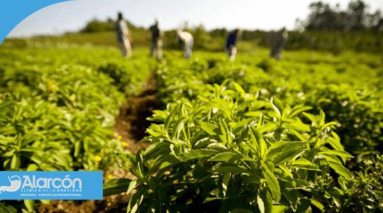 plantaciones de stevia
